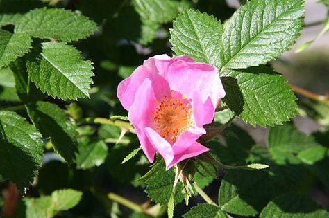 Glutinosa Rosa, nystyruusu