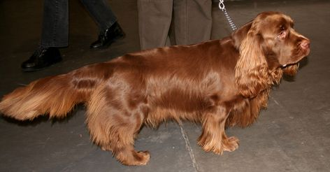 Sussex Spaniel. I will name it Weaver.
