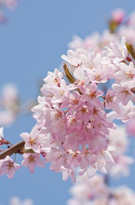 Weeping Cherry Stellata Small Urban Garden Plant Gifts Weeping Trees