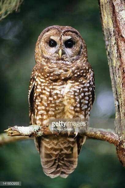 Spotted Owl Northern Spotted Owl Spotted Owl Unusual Owl