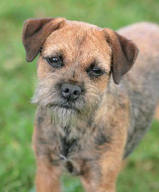 Border Terrier Breed Information With Images Border Terrier