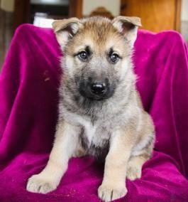 Avery Deutscher Schaferhund Husky Welpe Zum Verkauf In Millersburg Oh Husky Welpen Schaferhunde Welpen