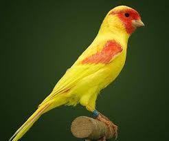 قصة غريبة أفكار عصفور كناريا Canary Birds Birds Pet Birds