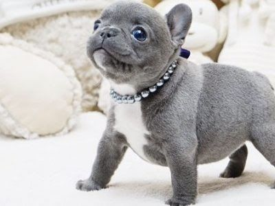 Teacup French Bulldog Colorado Micro Teacup Puppies