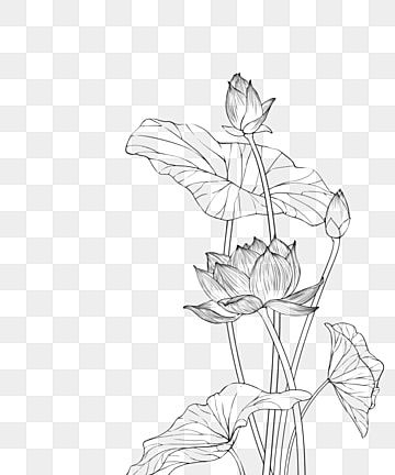 Line Drawing Lotus Leaf Clipart Black And White Line Drawing Flowers Blooming Lotus Leaf Line Draft Png Transparent Clipart Image And Psd File For Free Downl In 2021 Flower Line Drawings