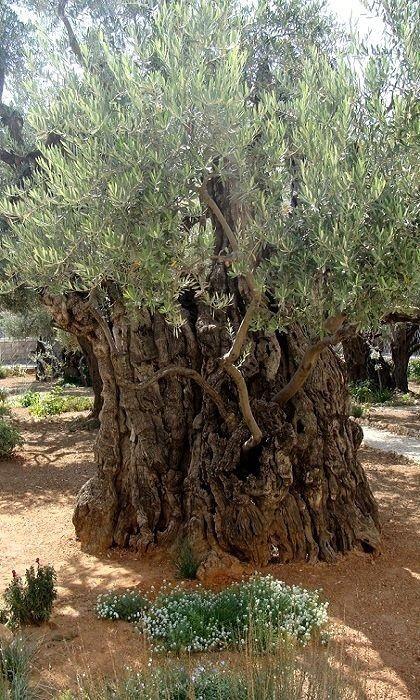 Pin Von Coschi Auf A Cottage On Olive Grove Naturbilder Schone Landschaften Olivenbaum