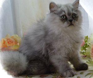 Napoleon Kittens For Sale Persian Kittens Saint Louis Munchkin Kittens Munchkin Cat Kittens Cutest Kitten Pictures