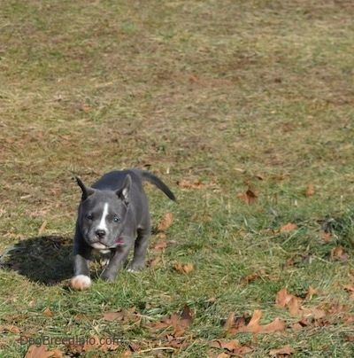 A Blue Nose American Bully Pit Puppy Is Running Across Grass And