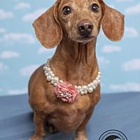 Pin By Johnna Nelson On Adopt Me Too Pet Adoption Dachshund
