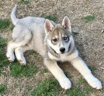 Stormy Is A Male Siberian Husky Puppy For Sale At Puppyspot Call