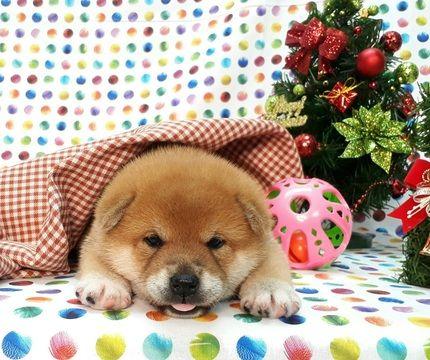 Shiba Inu Puppy For Sale In Boston Ma Usa Adn 105507 On Puppyfinder Com Gender Male Age 5 Weeks Old Nickname Shiba Inu Puppy Shiba Inu Puppies For Sale
