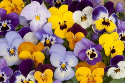 Are Pansies Annuals Or Perennials What Is The Usual Pansy Lifespan Pansies Flowers Fairy Garden Plants Pansy Garden