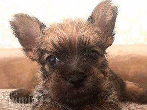 John Carter Norwich Terrier Puppy For Sale Euro Puppy In 2020 Puppies Norwich Terrier Puppy Terrier Puppy