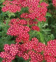 Punakärsämö 'Red Velvet' (Achillea millefolium)