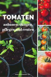 Probieren Sie Tomaten Aus Dem Ortlichen Garten Tomaten Pflanzen Tomaten Pflanzen Tomaten Anbauen Tomaten Zuchten