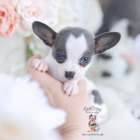 Blue Chihuahua Breeder Florida Cuteteacuppuppies Teacup