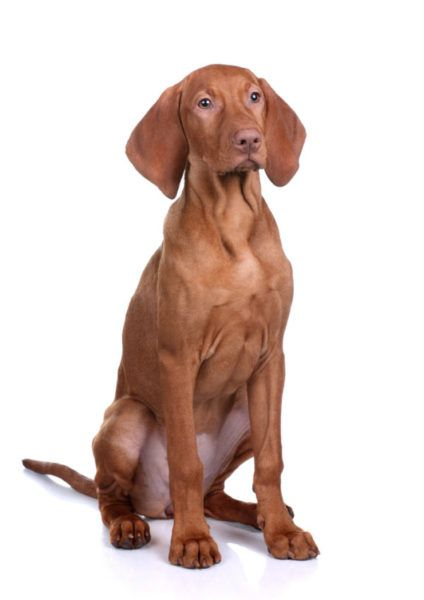 Vizsla Puppies For Sale Height 21 To 24 Inches At The Shoulder