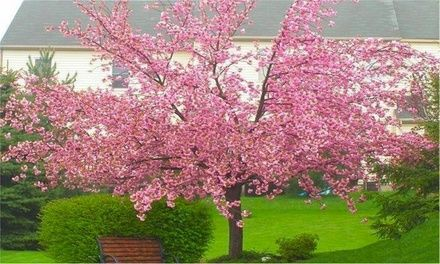 Double Flowering Cherry Almond Tree For 29 99 With Free Delivery 57 Off Garden Express Flowering Trees Cherry Almond