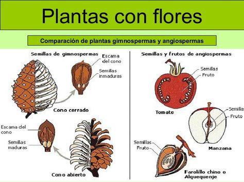 Las Plantas 20 638 Jpg 638 479 Gimnosperma Cultivo