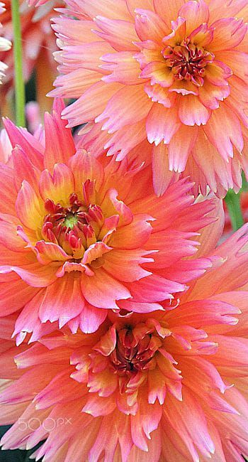 Dahlia Orange Turmoil By Dina A Photo 131334239 500px Beautiful Flowers Amazing Flowers Flowers Nature