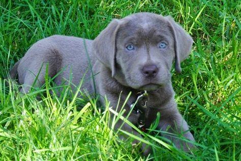Silver Labrador Puppies For Sale | Charcoal Labradors