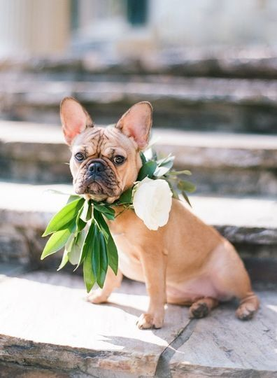 French Bulldog Wedding Pets Greenery And White Floral Collar Including Pets In Your Wedding Srs Eve French Bulldog Wedding Wedding Pets Wedding Decision