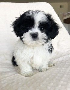 MALSHI FEMALE PUPPY AVAILABLE NOW!!! - iHeartTeacups