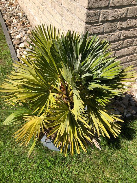 Kompakte Palmenart Auch Fur Den Balkon In 2020 Palmenarten Palmen Mediterraner Garten