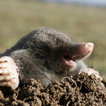 Maulwurf Oder Wuhlmaus Maulwurf Tiere Sibirischer Husky