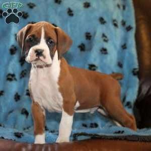 A Boxer Puppy Named Homer