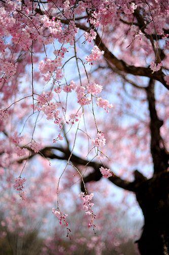 Silvaris Weeping Cherry Blossoms Bymyu Myu Bunga Sakura Latar Belakang Pemandangan