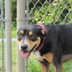Panama City Fl Rottweiler Meet Bobbi Jean A Pet For Adoption