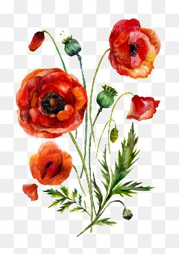 Watercolor Flowers Watercolor Clipart Red Png Transparent Clipart Image And Psd File For Free Download Watercolor Flowers Poppy Flower Drawing Free Watercolor Flowers