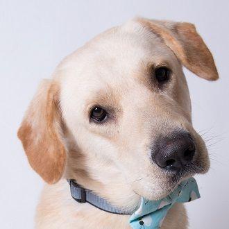 Adopt Mr Marley On Yellow Labrador Retriever Labrador Retriever Dog Dog Adoption