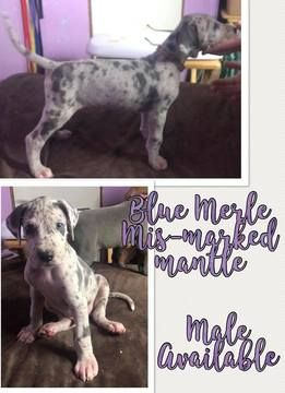 Litter Of 9 Great Dane Puppies For Sale In Carthage Tx Adn 58549