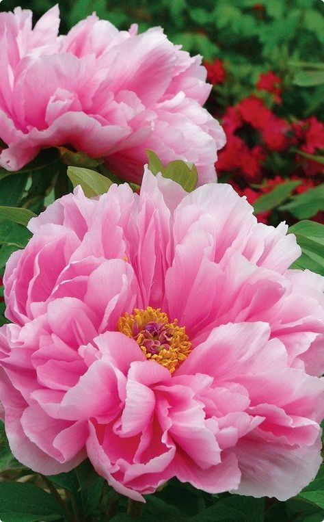 Fabulous Pink Yellow Peony Roots Bulbs Perennial Flower Cleans the Air Bonsai