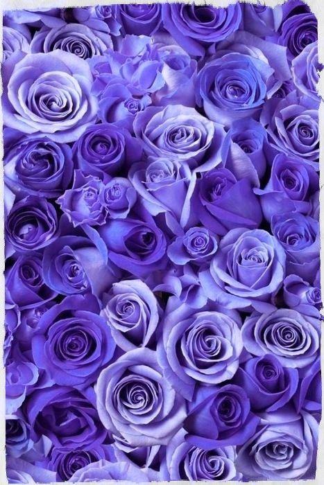 Purple Roses Purple Flowers Wallpaper Purple Wallpaper Purple