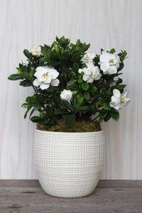 In Memory Potted Gardenia Gardenia Bush Blooming Plants Plants