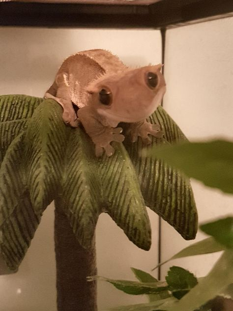Frog Discover Crested Gecko smile via aww on March 31 2018 at Leopard Gecko Cute, Cute Gecko, Cute Reptiles, Reptiles And Amphibians, Cute Little Animals, Cute Funny Animals, Cute Lizard, Pet Lizards, Crested Gecko
