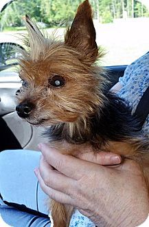 Pictures Of Percy A Yorkie Yorkshire Terrier For Adoption In