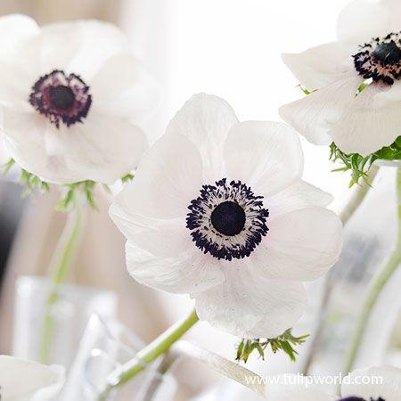 Black Eyed Beauty Anemone White Anemone Flower Anenome Flower Black And White Flowers