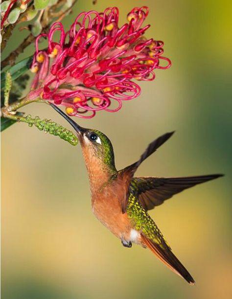 Beautiful Mid Flight Fueling Colibri Fotos Aves De Colores Aves