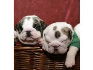 English Bulldog Puppies In Kentucky Shrinkabulls Shrink A Bulls