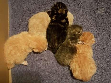 Schone Junge Gesunde Haus Katzen Baby S Geimpft Ab Sofort 25137056