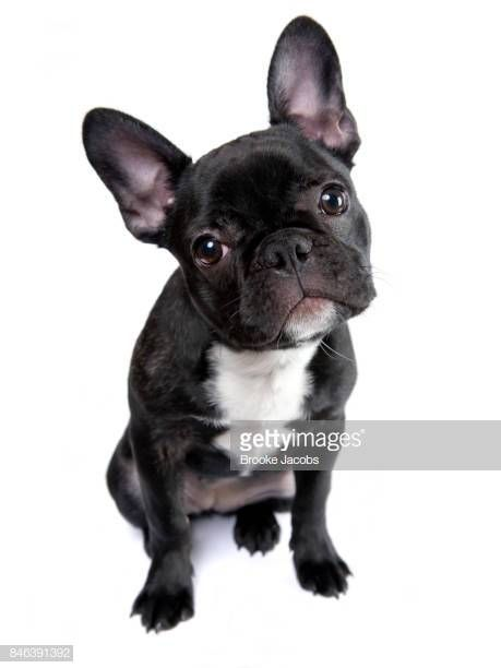 French Bulldog Google Search Pet Adoption Announcement Cute