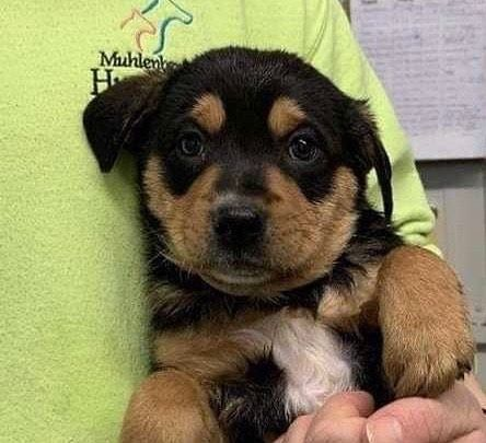 Happiness Is A Warm Puppy And A Buddy To Share Life With Apply To Adopt This Handsome Guy Buddy Our Rott Rottweiler Mix Puppies Rottweiler Mix Dog Adoption