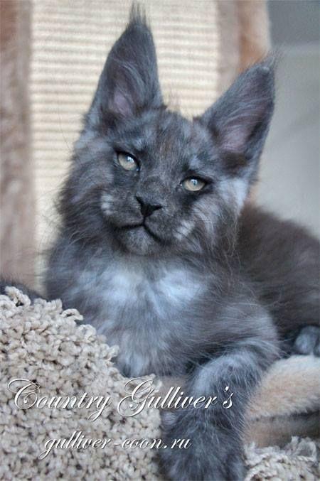 Zenit 3 Za Bel Black Smoke 2 Months N N Hcm Cats And Kittens
