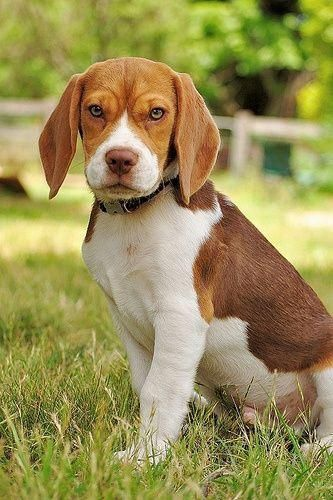 Harrier A Z Dogs Beagle Puppy Beagle Cute Beagles