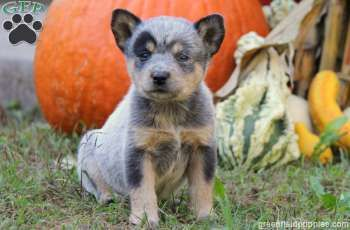 Riley Blue Heeler Australian Cattle Dog Puppy For Sale From Narvon Pa Blue Heeler Puppies Cattle Dogs Rule Heeler Puppies