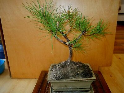 Sponsored Link 11 Year Old Informal Upright Corkscrew Japanese Black Pine 1 2 Inch Trunk Bonsai In 2020 Japanese Black Pine Bonsai Japanese